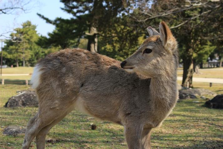 Deer in Nara, Japan